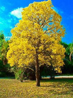 Who can get me a cute BONSAI version of a Golden Trumpet Tree, Yellow Trumpet… Fruit Bearing Trees, Fruit Trees, Blooming Trees, Flowering Trees, Single Tree, Beautiful Nature Pictures, Home Garden Plants, Colorful Trees, Outdoor Landscaping