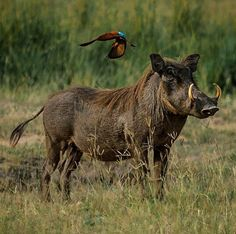A Warthog & Bee-Eater: Photographed At Murchison Falls National Park, Uganda. By: Ventureforthphoto on Instagram.
