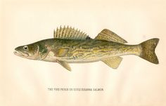 RARE 1892 Antique Denton Fish Print The Walleye Excellent Details | eBay