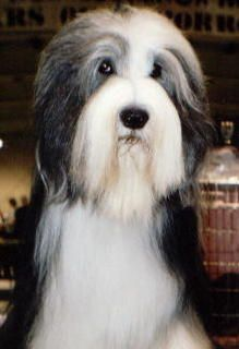 Bearded Collie one of the best companion dogs ever.