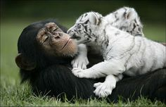White tiger cub plays with monkey friend