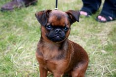 Smooth coated Brussels Griffon