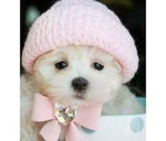 Image result for teacup maltese puppies full grown for sale
