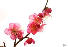 Plum blossom Japanese Painting, Chinese Painting, Cherry Blossom Painting, Bamboo Tattoo, Blossom Tattoo, Peach Blossoms, Most Beautiful Flowers, Photo Logo, Spring Blossom