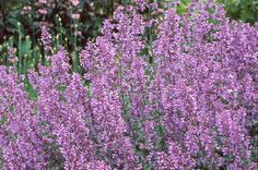 Catmint (Nepeta x faassenii) - Perfect for borders, rock gardens, and containers, this drought-tolerant plant's aromatic flowers attract butterflies and bees. Catmint blooms from early summer to early fall, with plants that are 1 to 3 feet tall and wide. Zones 3 to 8.