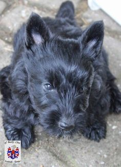 Scottish Terrier Puppy, Scottie Dogs, Cairns, Dog Quotes, Great Love, Westies, Little Dogs, Beautiful Boys, Scotch
