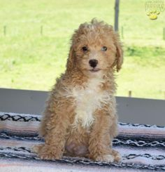 Laker - Poodles (Mini & Toy) Puppy for Sale in Millersburg, OH Toy Puppies For Sale, Mini Puppies, Mans Best Friend, Best Friends, Mini Poodles, Amp, Dogs, Animals, Beat Friends