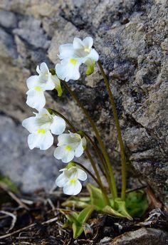 PINGUICULA ALPINA (Pinguicola alpina. Alpen-Fettblatt. Grassette des…