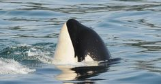 #Sea #Ocean #Animals www.pegasebuzz.com | Orca, orque, killer whale, black fish. J45 Se-Yi'-Chn, born in 2009. | www.ShareMySea.fr
