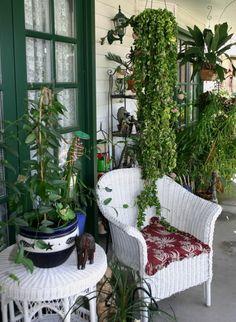 Indian rope hoya plant