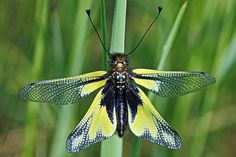 Owlfly by ste.it, via Flickr. Ascalaphus libelluloides (female)