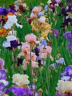 mix of irises, my dream garden
