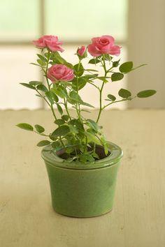 Mini Roses for centerpieces