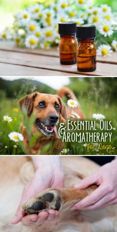 The use of essential oils as a form of therapy is relatively common in the human world, but did you know dogs can benefit from the ancient alternative therapy, too?