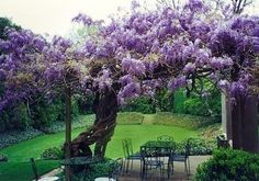 Would love a Wisteria Tree, but they sound tricky! Wisteria chokes the life out of trees and plants. Wisteria Garden, Wisteria Tree, Wisteria Pergola, Beautiful Gardens, Beautiful Flowers, Beautiful Places, Flowers Nature, Dream Garden, Garden Inspiration