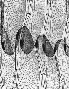 Photogram by Andreas Feininger - Dragonfly Wing, 1937. Andreas Feininger (cityscapes, archictectural, landscape and nature photography, portraits, and photojournalism) is remembered as one of the most significant artists in the history of photography. His images, which capture in minute detail insects, flowers, mussels, wood, and stone, bestow an almost sculptural character upon natural forms.