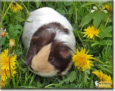 Read Dolly's story the Crossbred Guinea Pig from Boston, England and see her photos at Pet of the Day http://PetoftheDay.com/archive/2014/May/05.html .