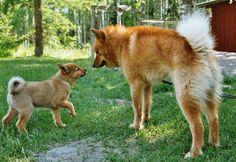 Finnish Spitz and Her Puppy Spitz Puppy, Spitz Dogs, Dogs And Kids, Dogs And Puppies, Spitz Breeds, Dog Breeds List, Dog Training Techniques, Snow Dogs, Wild Dogs