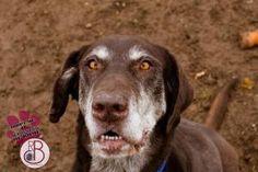 Sweet senior chocolate Lab! REDUCED FEE! Spencer*REDUCED FEE*: Chocolate Labrador Retriever, Dog; Rome, NY