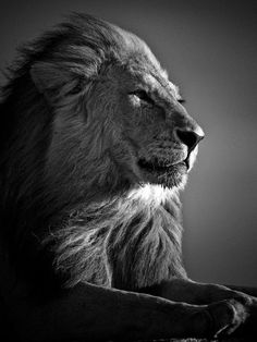 Lion After The Nap Laurent Baheux Httpwwwyellowkornercom - Powerful and intimate black white animal portraits by luke holas