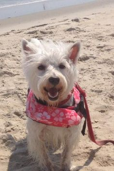 """Finley thinks she's """"SuperDog"""" in her Life Jacket on the beach in Nags Head, NC"""