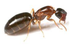 ヒラズオオアリ Camponotus nipponicus  平たく潰れた頭部で、木の幹にある巣に蓋をします