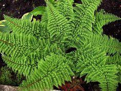 Polystichum setiferum `Plumoso-densum`   (Zachte Naaldvaren)
