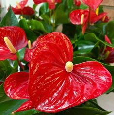 Anthurium Heart Shaped Leaves