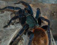 Meet the Greenbottle Blue Tarantula. They are very active, fast-growing and live in webbed burrows under bushes and tree roots in desert areas of northern Venezuela, in Paraguaná.
