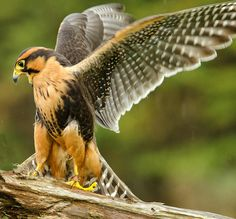 Aplomado Falcon Photograph by Andrew Oliver