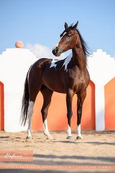 So beautiful. Stunning Paint Horse.