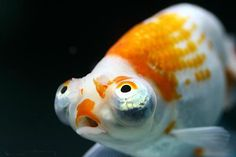Goldfish - Close up of a Celestial