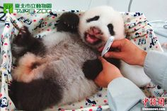 Taiwan's first panda cub is growing fast and is in good health.