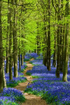 England, Hertfordshire, Ashridge. A sunlit path leading though bluebells in Dockey Wood.