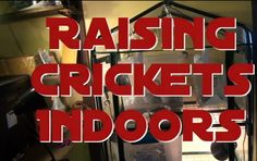 Raising and Breeding Crickets Indoors 101 - Breeding Feeder Crickets for your reptiles in ten days Cricket Farming, Bearded Dragon Cute, Baby Tortoise, Indoor Greenhouse, Young Animal, Eat Fruit, Crickets, Chickens Backyard, Types Of Food