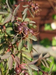 2014-07-10: Rosa glauca (hips don't lie)... Live In The Now, Shrubs, Planters, Gardens, Shrub, Plant, Window Boxes, Flower Pots, Tuin