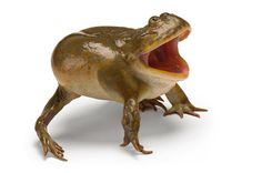 A Budgett's frog at the National Aquarium in Baltimore     →Photograph: Joel Sartore/National Geographic Stock/Caters