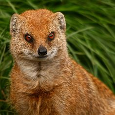 Yellow Mongoose, sometimes referred to as the red meerkat, is a small mammal averaging about 5-8kg in weight and up to 50cm in length. A member of the mongoose family, it lives in open country, from semi-desert scrubland to grasslands in Angola, Botswana, South Africa, Namibia, and Zimbabwe. Image: jackie#1981 (Flickr) taken at the Yorkshire Wildlife Park, Doncaster, Uk