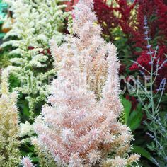 image de Astilbe chinensis Milk and Honey