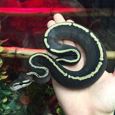 I love this snake. Looks like bones Pretty Snakes, Beautiful Snakes, Animals Beautiful, Cute Animals, Ball Python Morphs, Cute Reptiles, Reptiles And Amphibians, Beaux Serpents, Serpent Animal