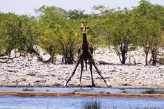Etosha Park Namibia Giraffe, Africa, Park, Animals, Adventure Trips, Travel, Felt Giraffe, Animales, Animaux