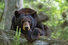 I love Black Bears!!