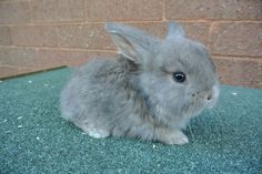 Stunning French Lop Baby Rabbits | Preston, Lancashire | Pets4Homes