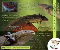 Ajolote (Ambystoma mexicanum): DESCRIPCIÓN MAYOR INFORMACIÓN: http://mexifauna.blogspot.mx/2014/08/ajolote-ambystoma-mexicanum.html
