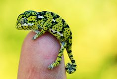 Flap-necked chameleon, Chamaeleo dilepis                                                                                                                                                                                 Mehr
