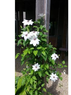 This Clematis is called Miss Bateman and it's growing on a Scroll Trellis Garden trellis that is mounted on the deck post at the entryway to our shade garden!