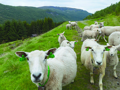 John Erik Stacy Norwegian American Weekly If you have friends or relatives in Norway, chances are some of them are sheep-farmers. Late September through October every year, Norwegian sheep-farmers ...
