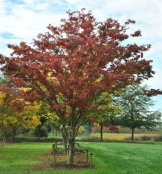 Zelkova serrata #tree #autumn #colours www.vdberk.co.uk