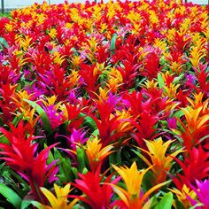 The dramatic bromeliads - These Guzmanias come in brilliant colors of yellow, orange, red and hot pink