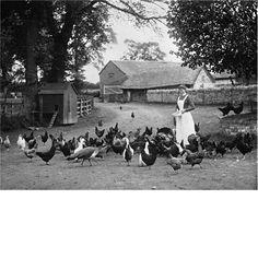 A female worker feeding chickens on a farm circa 1903